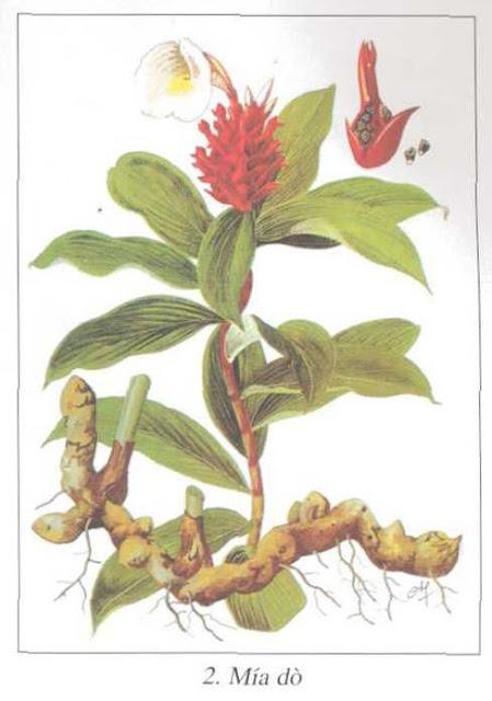 Mía Dò - Costus speciosus - Nguyên liệu làm thuốc Chữa bệnh Mắt Tai Răng Họng