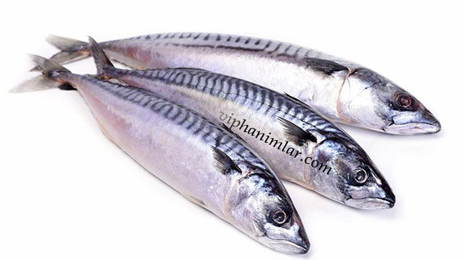 Uskumru-viphanimlar.com