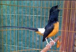 Foto Burung Murai Batu Lampung Ciri Fisik Suara Warna Bulu Leher Besar