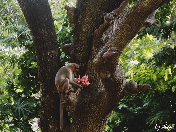 Maimute-in-India-blog-calatorii