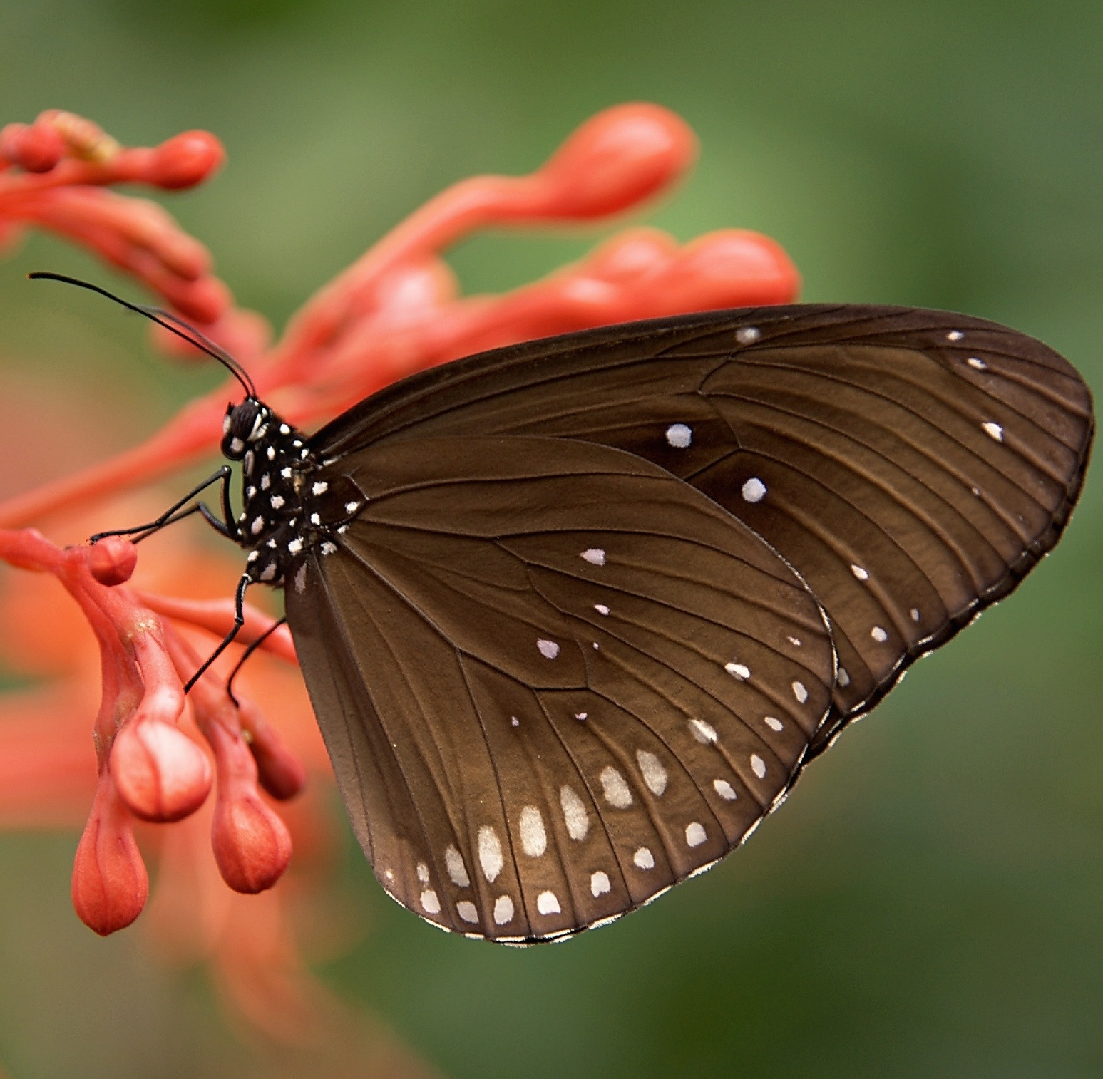 A nice photo of a striped core butterfly drawing nectar from red buds of a flower.