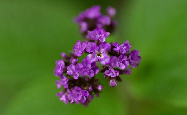 Flor de heliotropo Heliotropium arborescens
