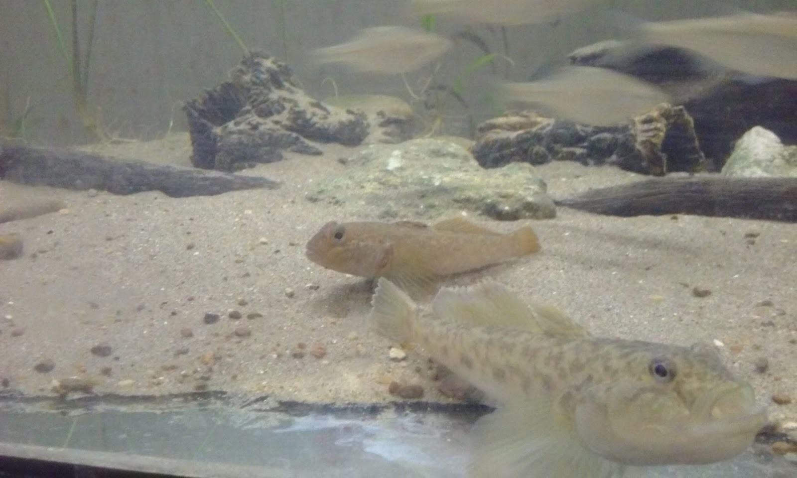 cool goby blog my new fish round goby