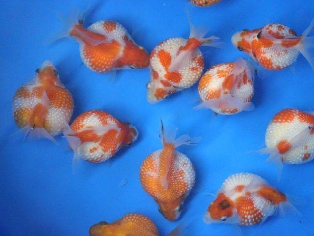 Tips Memelihara Ikan Mas Koki