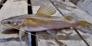 gambar ikan baung