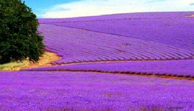 cánh đồng hoa oải hương đẹp nhất thế giới 25