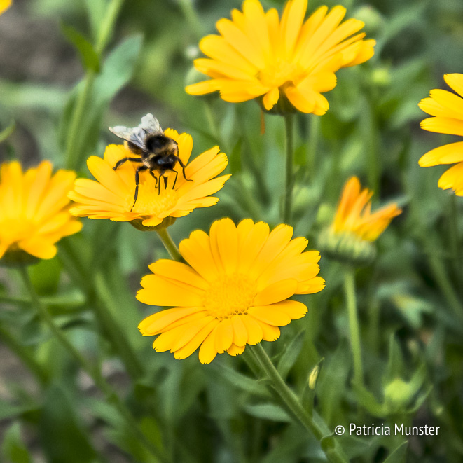 Close up of a marigold flower with a busy bee!