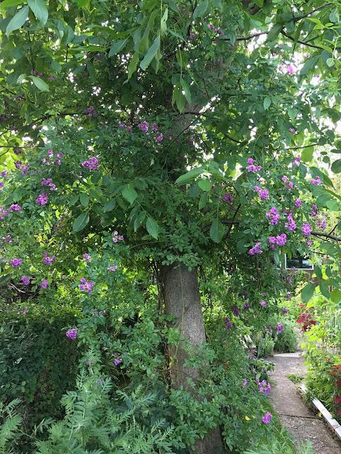 Ramblerrose Rose Marie Vieaud (c) by Joachim Wenk
