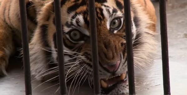 Saving the Sumatran tiger by Tomy Winata