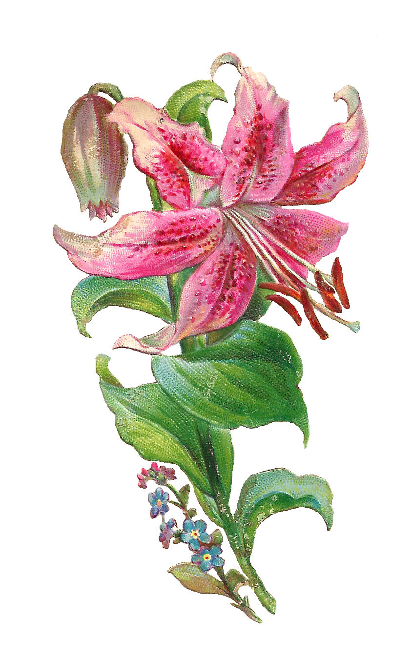 Antique Images Free Lily Graphic Pink Lily Flower Victorian