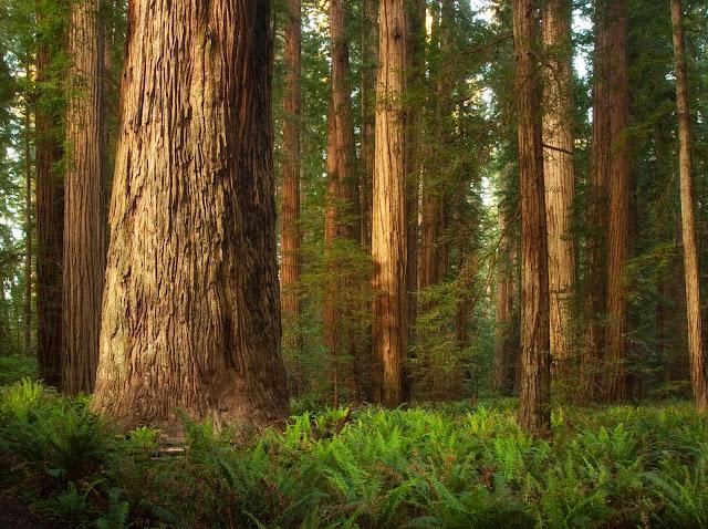 Tronchi Sequoie