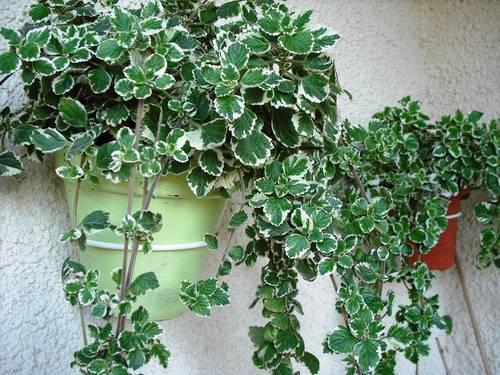 El jard n de gaia septiembre 2012 for Plantas aromaticas exterior todo el ano