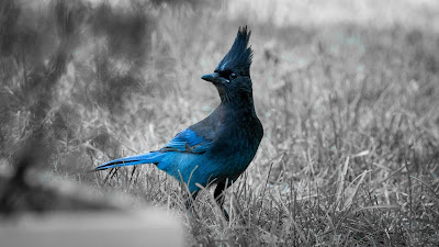 blue bird on grass hd wallpaper