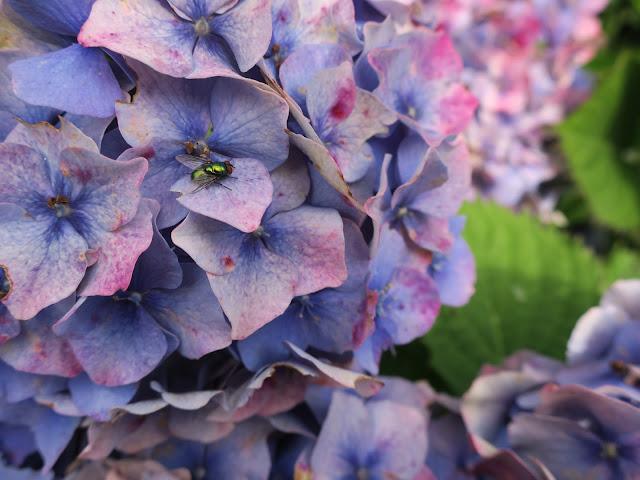 Fading blue hydrangea with greenbottle fly on petal.