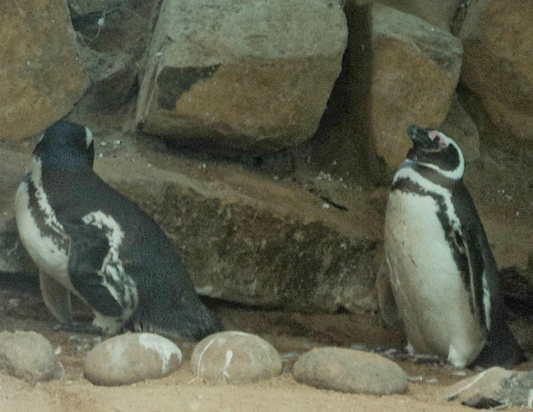Pinguins Olhando-se no Gramado Zoo