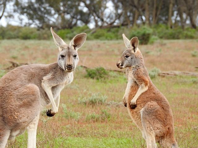 Hal Sederhana yang Membuat Peternakan Sapi Australia Berjaya