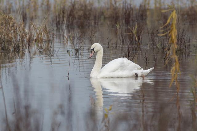 Swimming Mute Swan