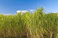 Switchgrass is one of the five crops modeled for local soil carbon sequestration rates in an Argonne study that predicts the impact of different biofuel crops on soil carbon across the country. (photo credit: hjochen/Shutterstock) Click to Enlarge.