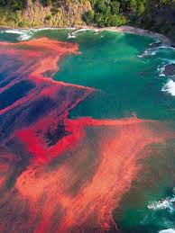 """Red Tide"" alga bloom. Source from: whoi.edu"