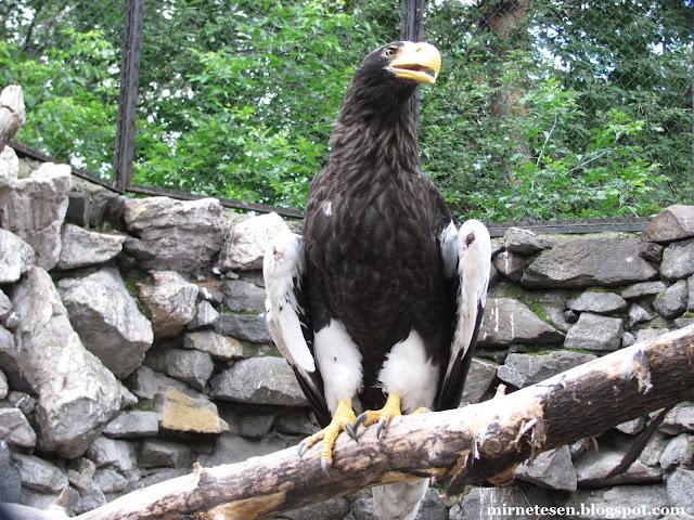 Новосибирский зоопарк: белоплечий орлан