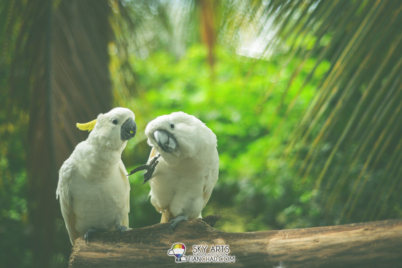 A pair of white cockatoo