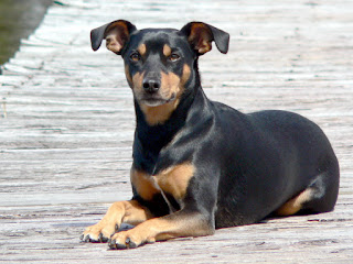 Everything about your Manchester Terrier