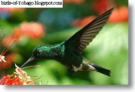 Copper-rumped hummingbird (Amazilia tobaci) feeding bird