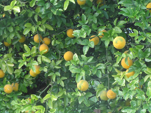 Chioma Foglie Arancio trifogliato