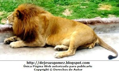 Foto de un león descansando por Jesus Gómez