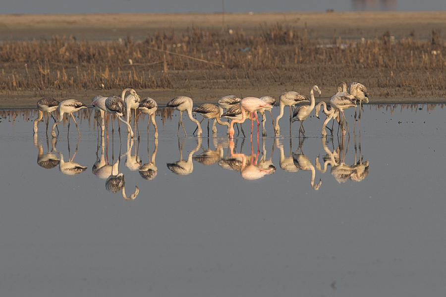 Greater Flamingo – Jubail
