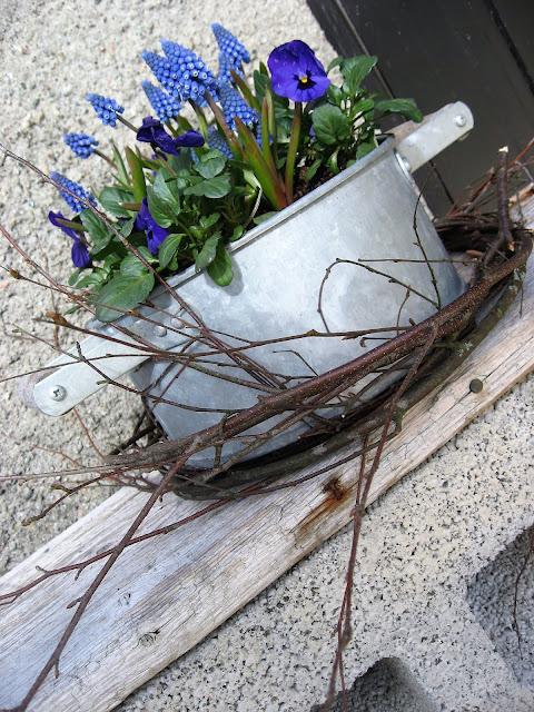Ideer til blå vårblomster i rkukker - Fioler og perleblomster i et gammel kar IMG_5167 (2)