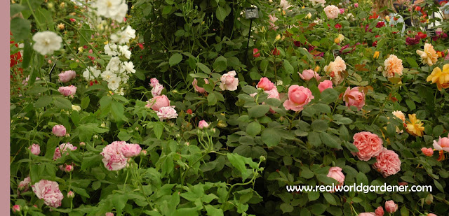 1-old_roses.jpg