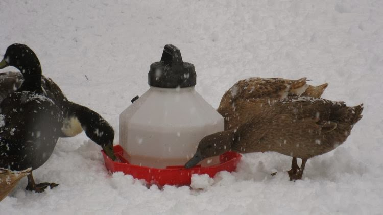 Cold Ducks: Keeping ducks in winter weather - The Thrifty