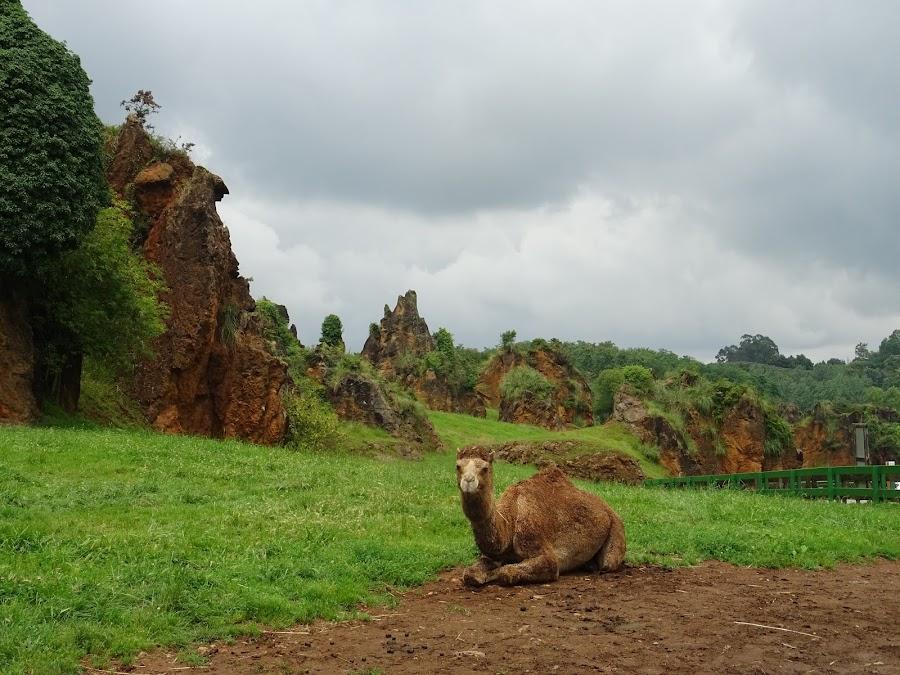 Camellos y Dromedarios Parque de la Naturaleza de Cabárceno, Santander