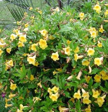 Khasiat Bunga Alamanda Untuk Kesehatan Part 2