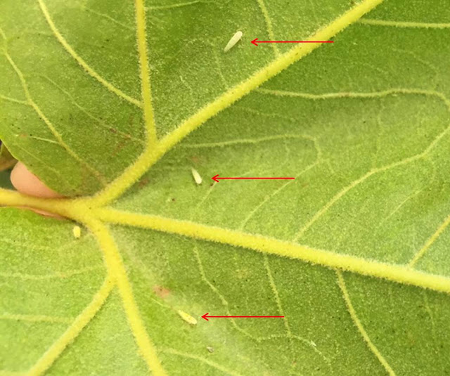 The underside of a leaf with red arrows pointing to leafhoppers
