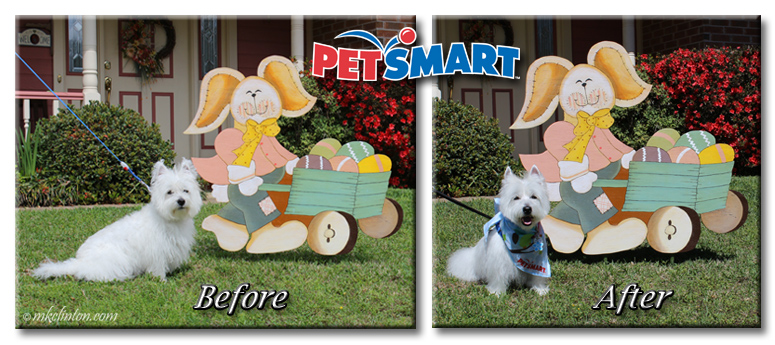 Before and after photos of Westie in front of Easter bunny cutout