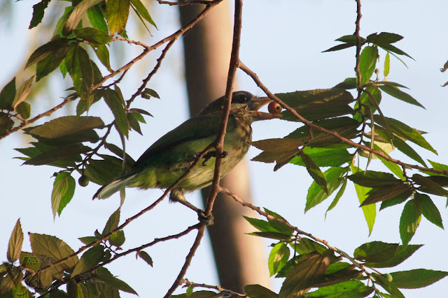 White-cheeked Barbet having its food