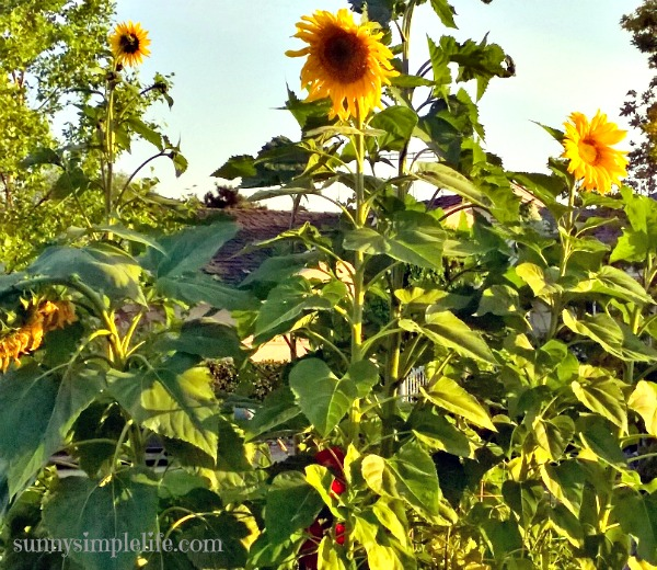 Growing Sunflowers: sunflowers tall