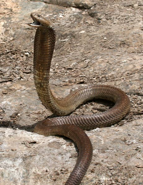 COOL IMAGES: Black Cobra Snake (Pack 2)