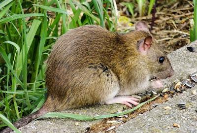 Como acabar com os ratos em casa e no jardim