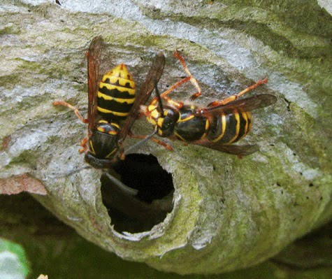 the truth about wasps