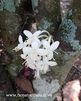 Phaleria clerodendron