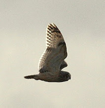 Soil Hill, Short Eared Owl