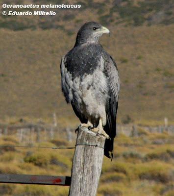 Águila mora Geranoaetus melanoleucus