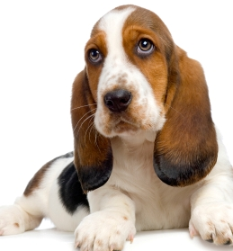 Everything about your Basset Hound