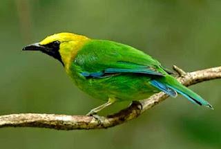 Daftar Harga Burung Cucak Ijo Lengkap Terbaru 2017, Daftar Harga Burung Cucak Ijo Lengkap Terbaru Bulan Ini 2017, Harga Burung Cucak Ijo Terbaru April - Mei 2017 - Kicau Burung