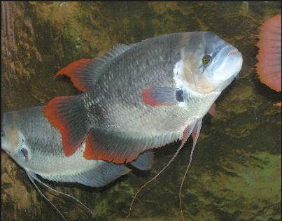 Pembenihan Ikan Gurame
