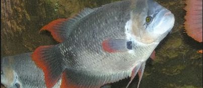 Proses Produksi Pembenihan Ikan Gurame Lengkap