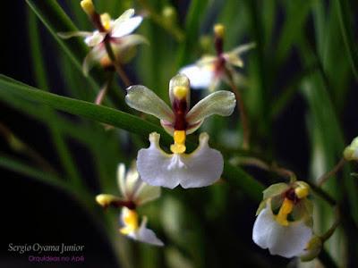 Micro Orquídea Ornithophora radicans